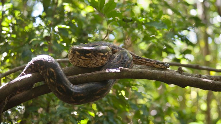 The snake may be hidden in tree branches