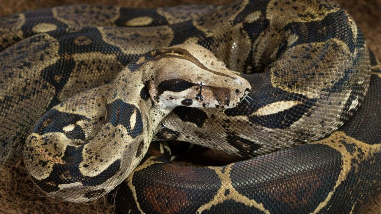 A poster featuring a picture of a boa constrictor has been circulated in Essex. File pic