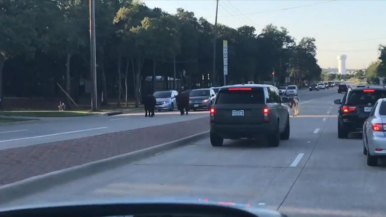 Police were called to move a herd of cows after they were spotted walking on a road alongside cars in Texas on Tuesday, September 18.