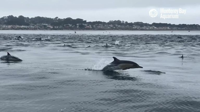 Super pod of hundreds of dolphins captured at Monterey Bay Aquarium.