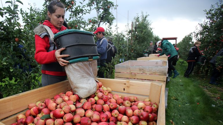 WORCESTER, ENGLAND - OCTOBER 08: Apple pickers gather Gala apples in an orchard at Stocks Farm in Suckley, near Worcester, on October 8, 2013 in Worcestershire, Englan