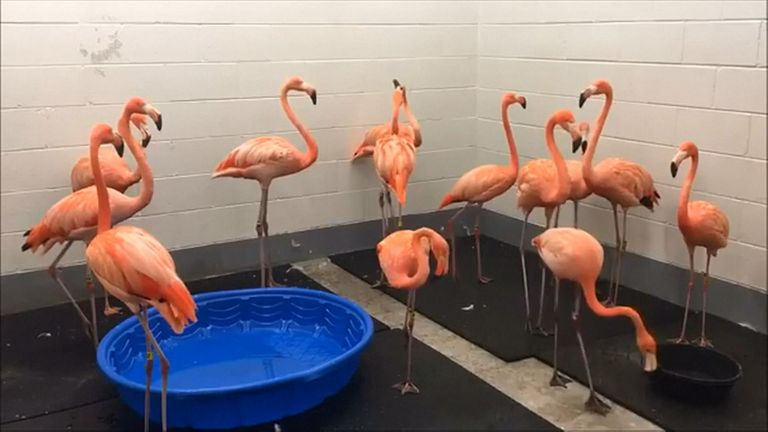Flamingos relocated in preparation for Hurricane Florence.
