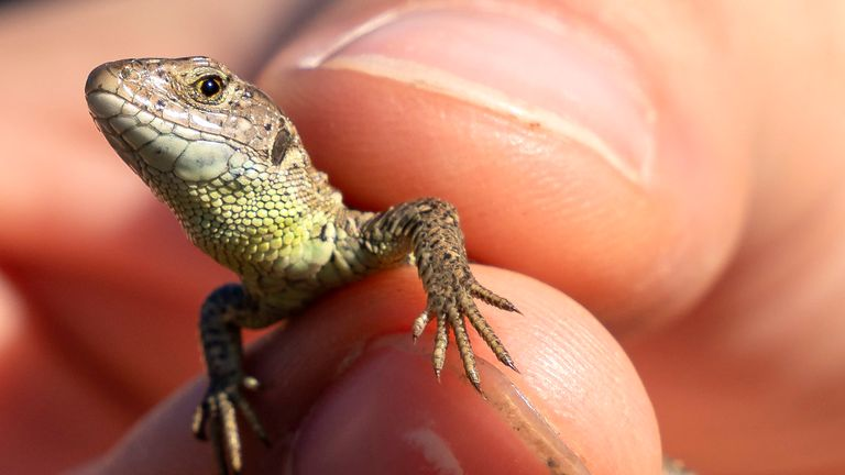 Sand lizards, usually found in Europe and Asia, have mostly disappeared from England and Wales
