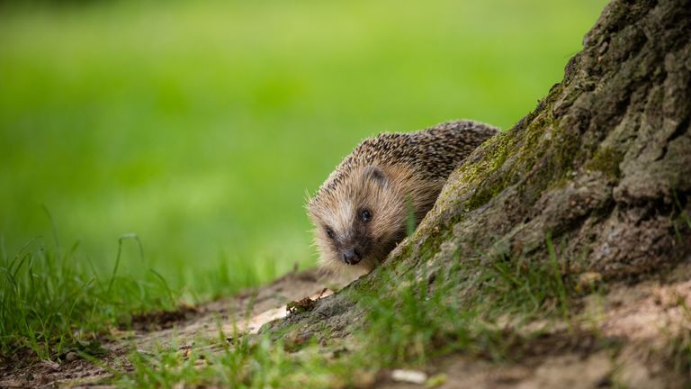 Hedgehog numbers have plummeted in the past 40 years