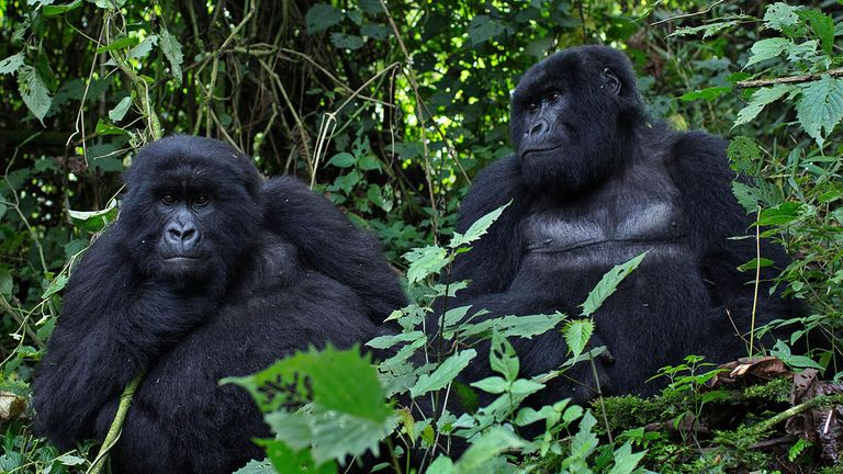 Male gorillas. File pic