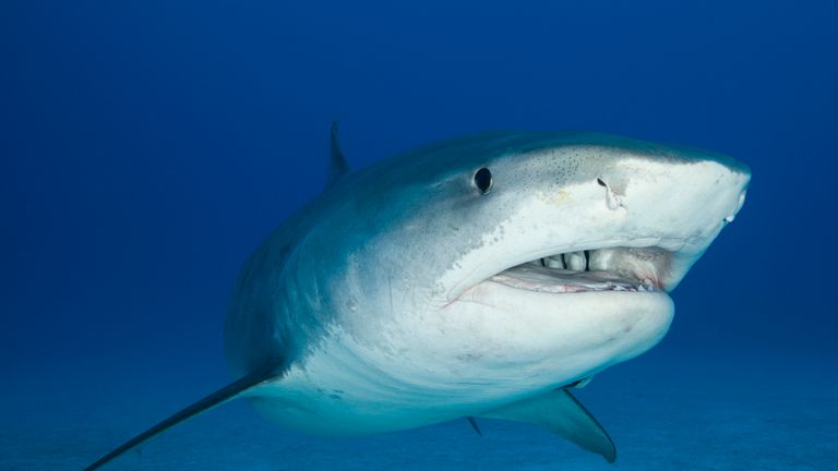 Two tiger sharks have been killed following the attacks. File pic