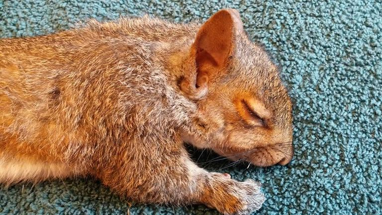 One of the squirrels under anaesthesia. Pic: Wisconsin Humane Society