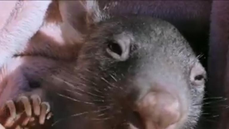 Grace, the rescued orphan wombat, is making good progress