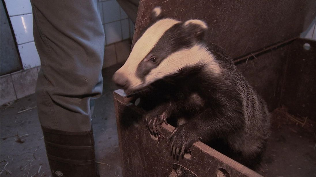 The badger cull could be extended