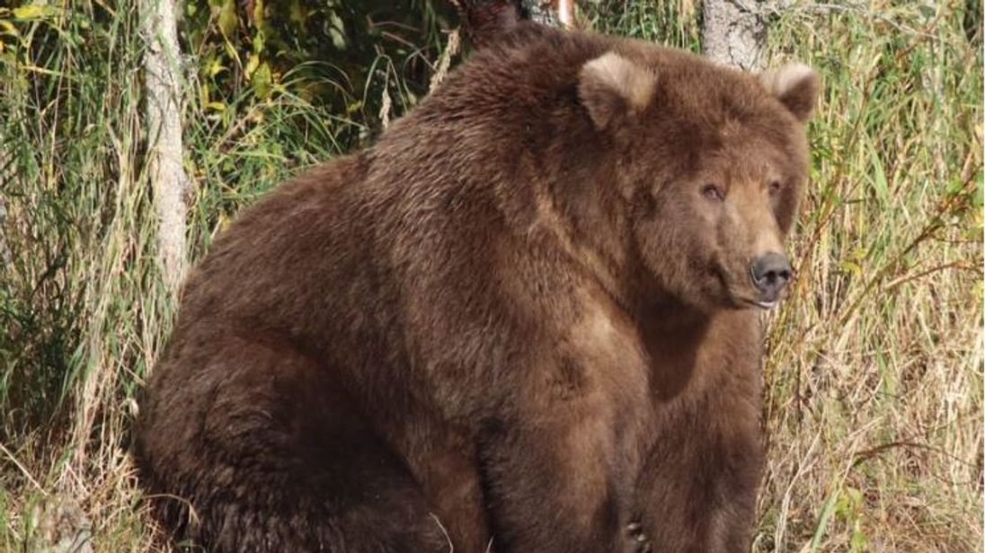 409 Beadnose has won this year's Fat Bear Week contest in Alaska. Pic: Katmai National Park & Preserve