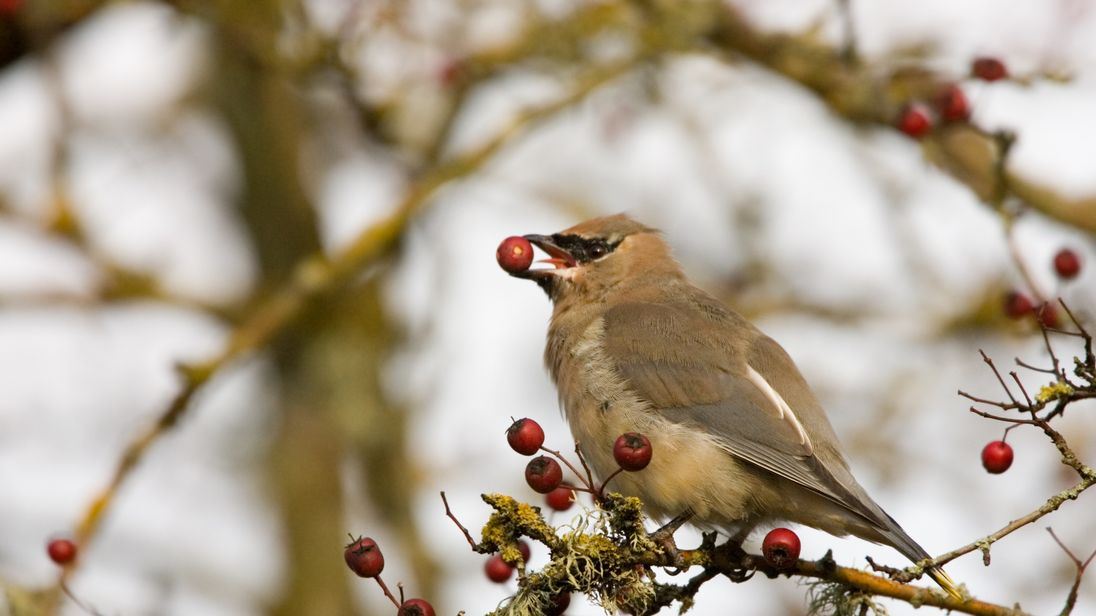 Drink-flyers: birds take their fill of fermented berries