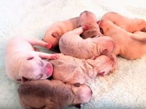 The French Bulldog puppies were just a day old when stolen. Pic: Greater Manchester Police