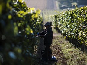 A migrant worker at Hambledon Vineyard in Hampshire - but asylum seekers don't have such opportunities