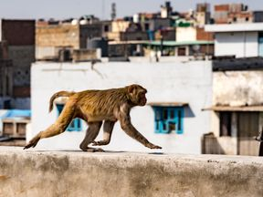 Monkeys have killed a man after throwing bricks in India. File pic