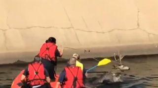 Sacramento Fire Rescuers Lasso Deer Stuck in Canal.