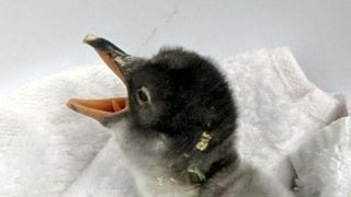 A penguin chick with two dads