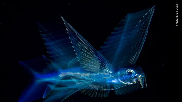 Wildlife Photographer Of The Year - flying fish by Michael Patrick O'Neill