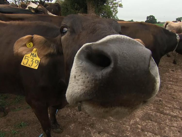 Thousands of cows have had to be put down because of bovine TB