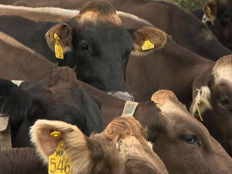 More than 27,000 cows had to be put down