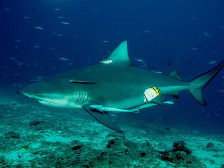 Bull sharks can grow up to 8ft (2.4m) long. File pic