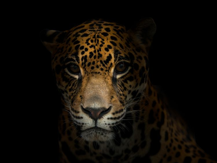 The jaguar is one of the species under threat in Latin America