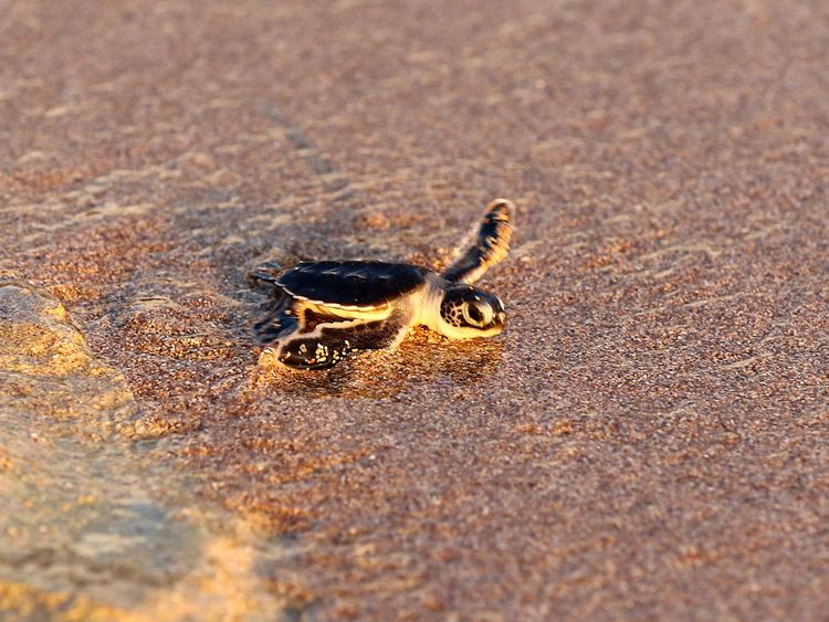 This picture taken on July 29, 2018, shows a new born turtle on the shore finding its way to the sea after members of the Orange House project released it in El Mansouri, some fifteen kilometers south from Tyre, southern Lebanon