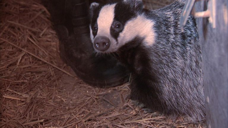 Badgers have been culled in some counties and the government will review the results