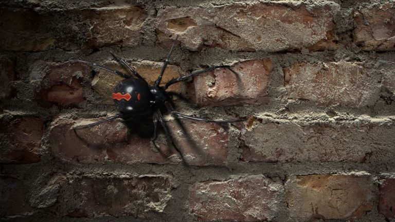 Black widow spider (file pic)