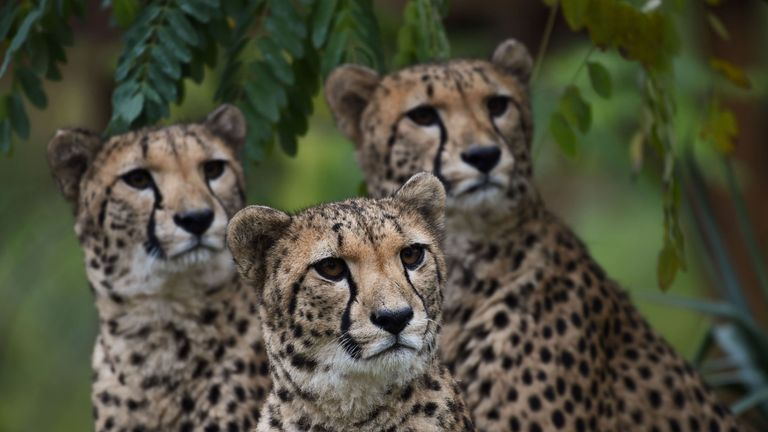 Cheetahs react inside their enclosure at the Zoo Parc of Beauval in Saint-Aignan, Central France, on October 29, 2018