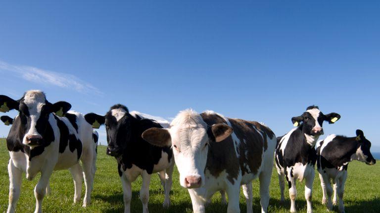 Cows in Scotland