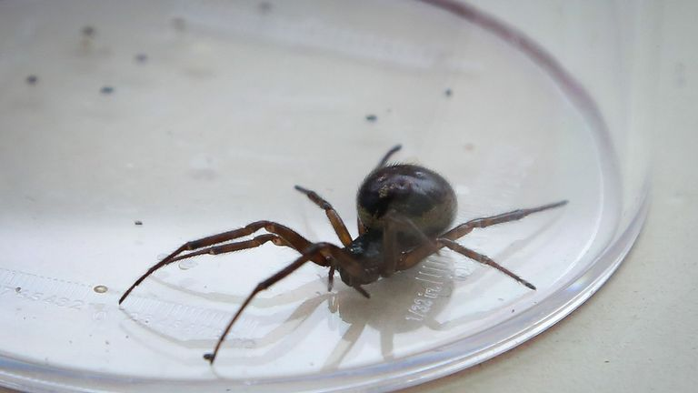 False widow spiders have a painful bite likened to a wasp sting. File pic