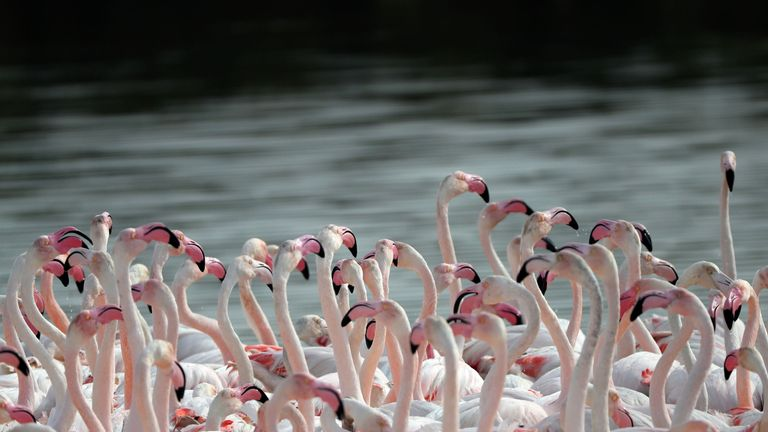 Pink flamingos are seen at the Ras al-Khor Wildlife Sanctuary on the outskirts of Dubai, in the United Arab Emirates, on February 13, 2018