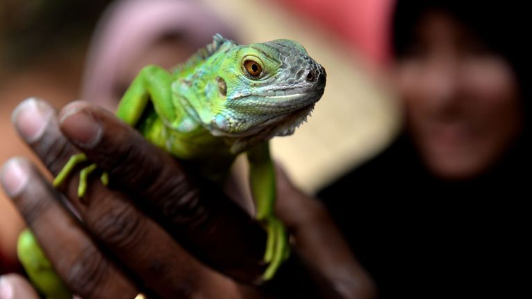 An Indian woman holds a green iguana during an awareness show at Guindy Snake Park in Chennai on July 16, 2018