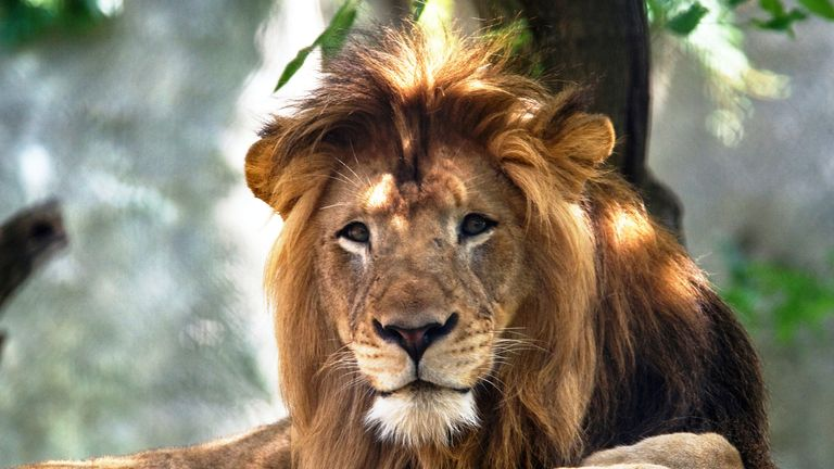The Indianapolis Zoo's adult male lion, named Nyack, died as a result of injuries inflicted by his female mate