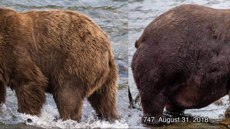 747 came second in the annual Fat Bear Week contest. Pic: Katmai National Park & Preserve