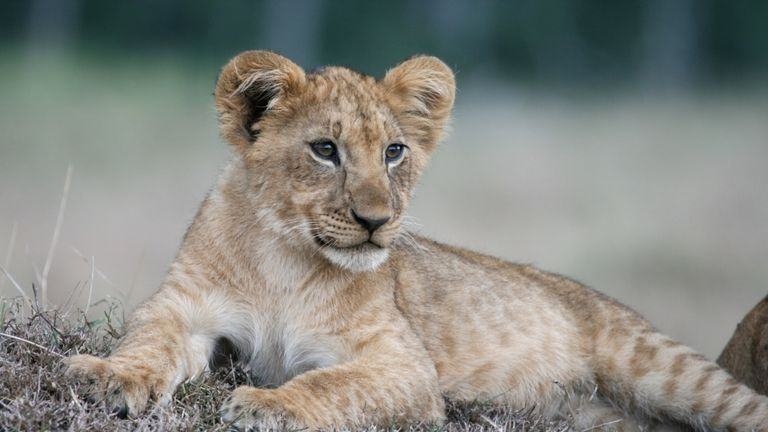 For Sale Lion Cub Found In Child S Bed In Paris Flat