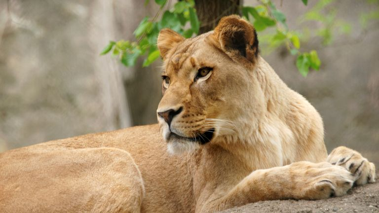 Zuri, a female lioness at Indianapolis Zoo, killed her mate