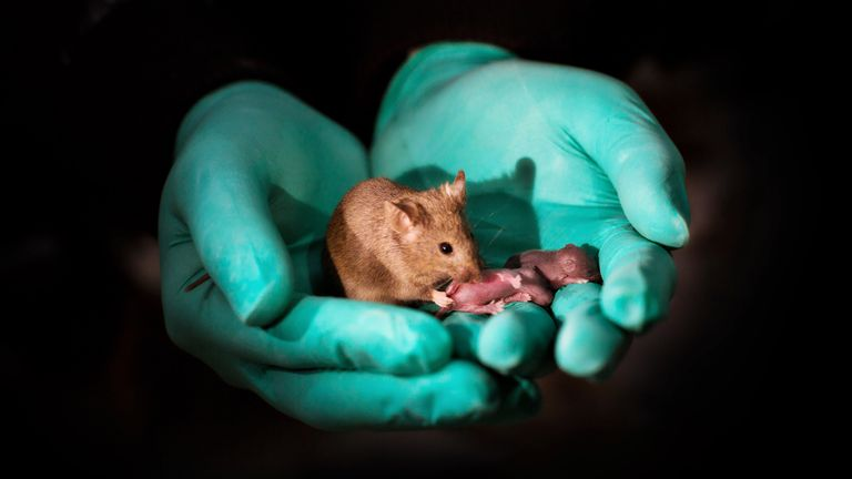 The mice have now had healthy babies of their own. Pic: Leyun Wang
