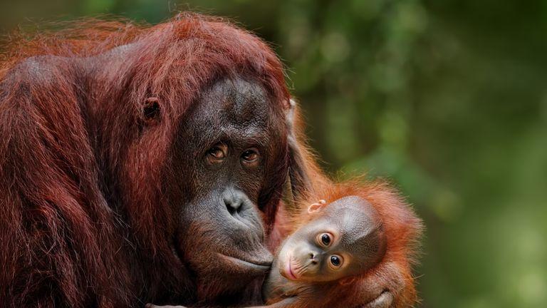 Orangutans are under threat