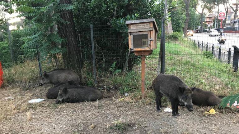 Wild boars roaming a park in Rome. Pic: Clistere della Sera