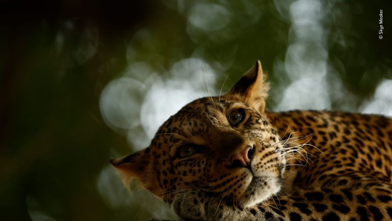 Wildlife Photographer Of The Year - young winner Skye Meaker's pic of a leopard