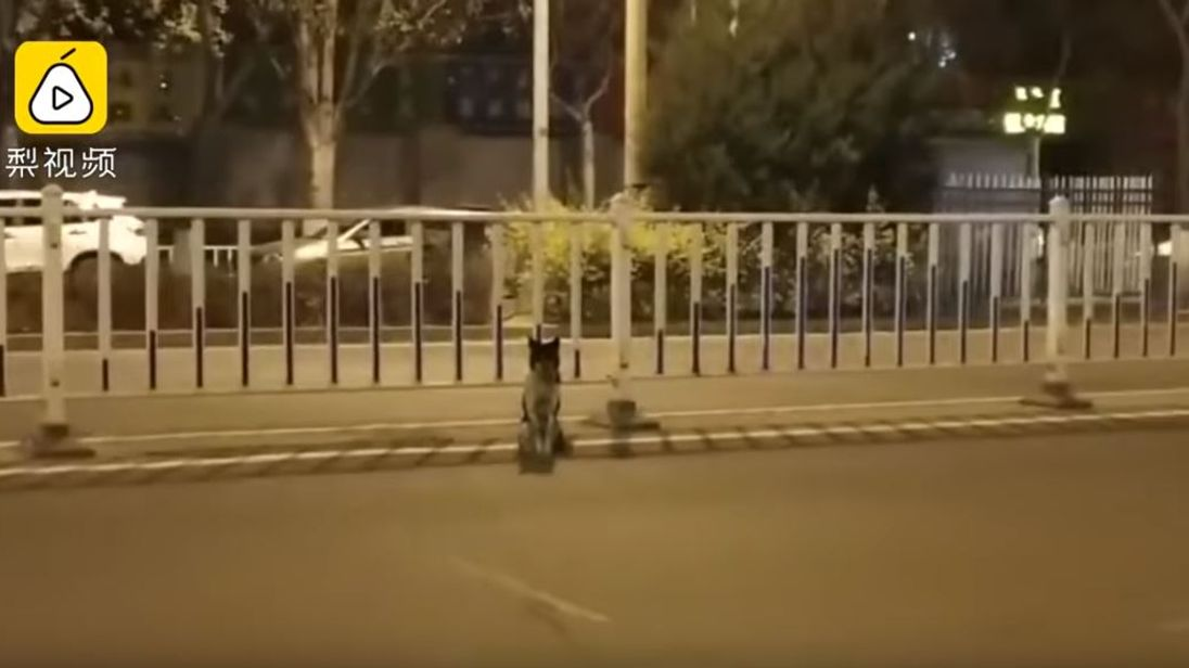A dog in China is waiting at the spot his owner reportedly died in an accident. Pic: Pear Video