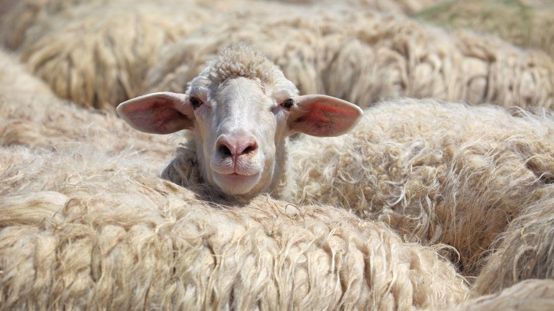 bah d idea peta asks dorset village wool to change name to vegan wool