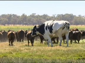 Knickers the cow