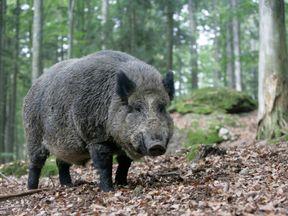 A wild boar in a wood in Germany