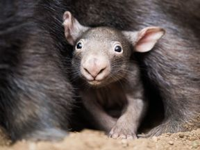 The little wombat 'Apari' looks out of the bag of his mother 'Tinsel' in Duisburg, western Germany, on April 4, 2018. / AFP PHOTO / dpa / Rolf Vennenbernd / Germany OUT (Photo credit should read ROLF VENNENBERND/AFP/Getty Images)