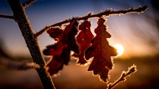 Oak leaves are covered in frost on February 14, 2018 in Hanover, northern Germany