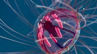 Unusual 'psychedelic' jellyfish spotted in waters off Puerto Rico