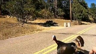 Wild turkey crosses the line with Colorado law enforcement