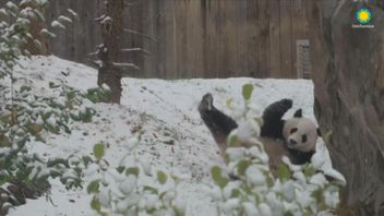 During first snowfall of the season in Washington, Giant Panda Bei Bei can be seen excitedly rolling around in the snow.